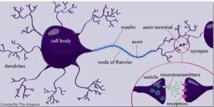 myelin axon nerve cell
