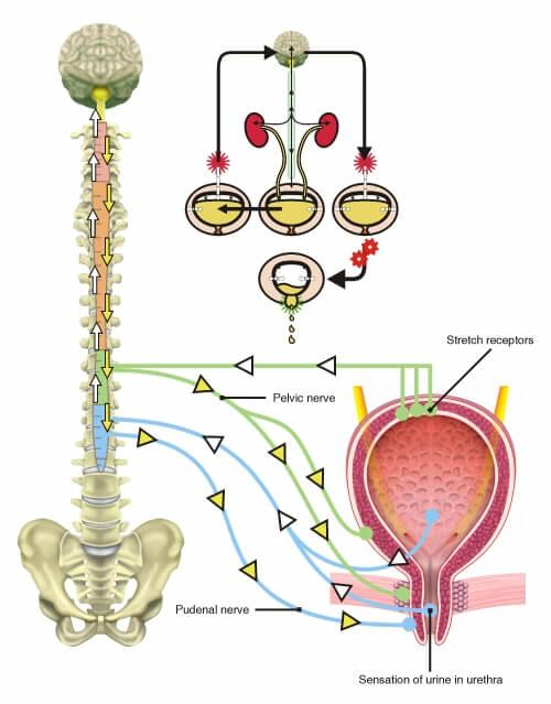 nerve bladder control