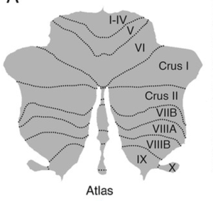 Cranial Nerve Mapping of the Cerebellum Source: Xavier Guell et al./eLife 2018 (Creative Commons)