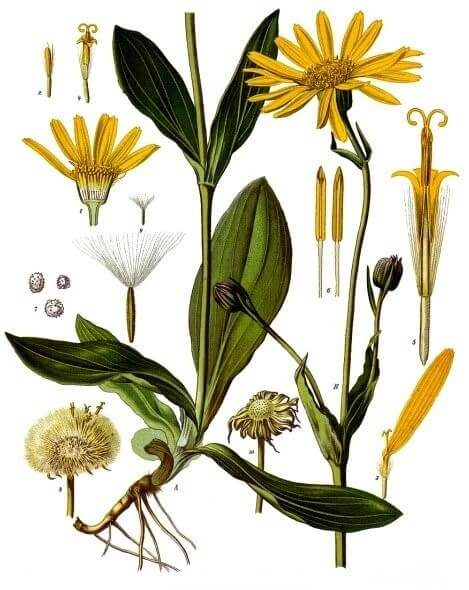Anti-Inflammatory Properties of Arnica